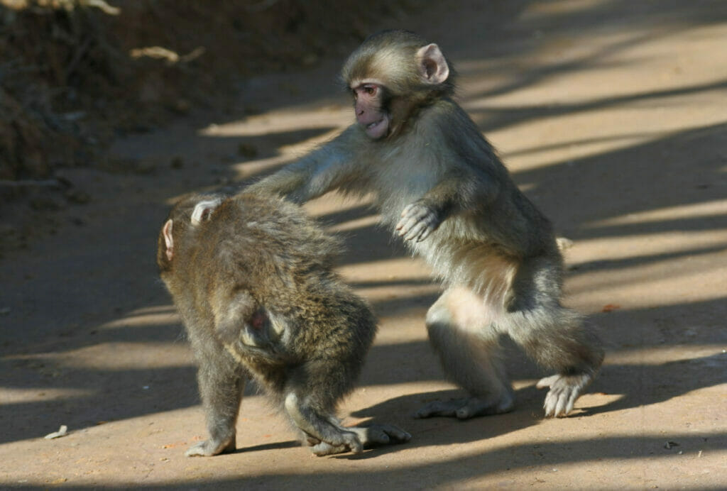two monkeys playing